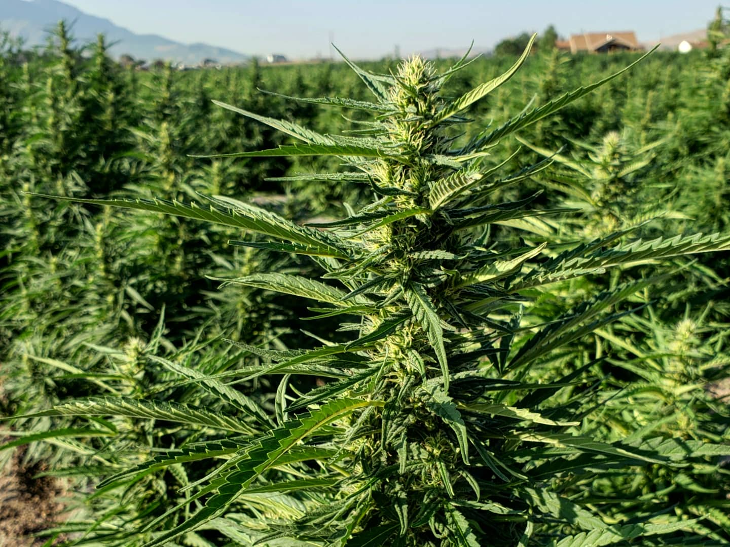 hemp flower in a field